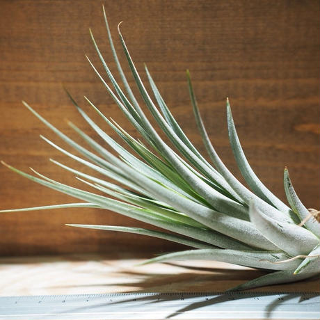 チランジア / イオナンタ × フロリバンダ (T.ionantha × T.floribunda) *A01/Jan27