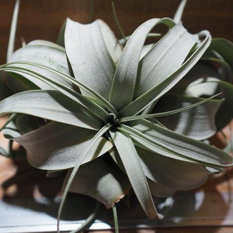 チランジア / キセログラフィカ S (T.xerographica) *A01/Nov29-01