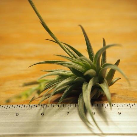チランジア / ロリアセア (T.loliacea) *A02/Se21