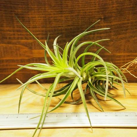 チランジア / ネグレクタ L (T.neglecta) *A02/Ju30