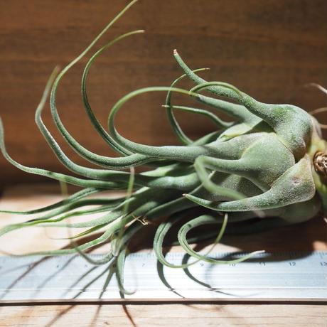 チランジア / セレリアナ ミニパープル (T.seleriana 'Mini Purple') *A01/Feb23