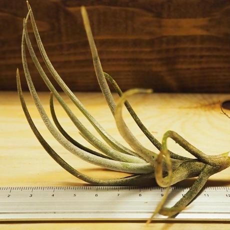 チランジア / グラブリオール (T.glabrior) *A02/J03