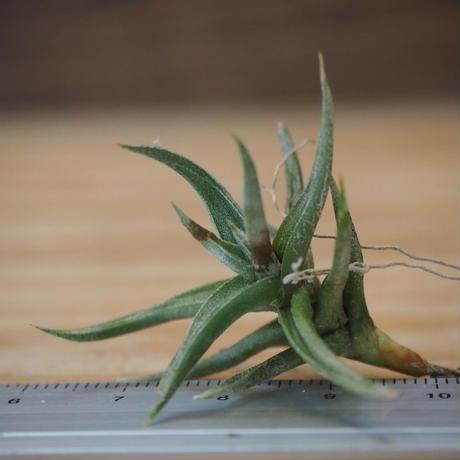 チランジア / フネブリス (T.funebris) *A02/Au31