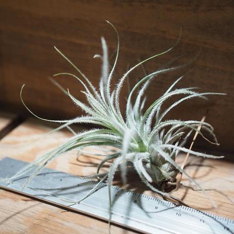 チランジア / テクトルム ワイルド フォーム (T.tectorum wild form) *A01/Nov14
