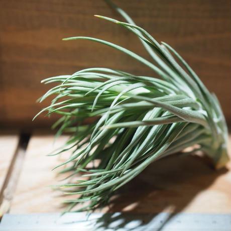 チランジア / モンタナ シックリーフ (T.montana 'Thick Leaf') *A01/ Mar05