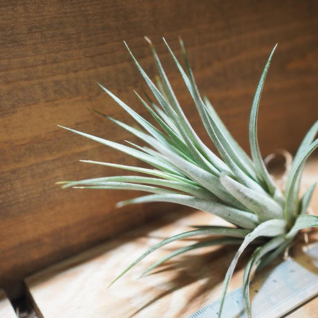チランジア / イオナンタ × フロリバンダ (T.ionantha × T.floribunda) *A01/Oct13