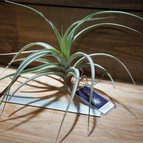 チランジア / ブクロヒー (T.buchlohii Sp.Peru) *A01/Jun18