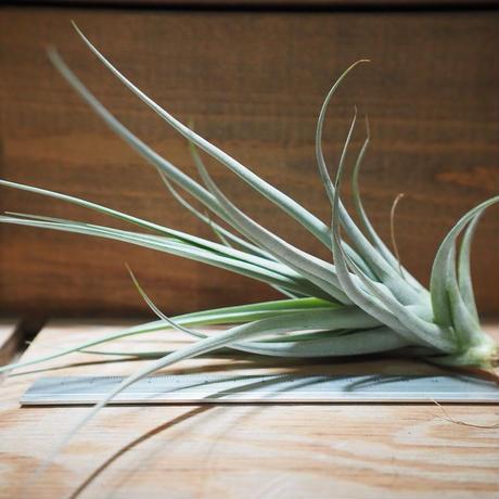チランジア / イキシオイデス × ライヘンバッキー (T.ixioides × T.reichenbachii) *A01/May12
