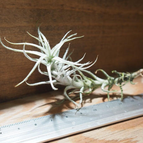 チランジア / ステリフェラ (T.stellifera) *A01/Nov20
