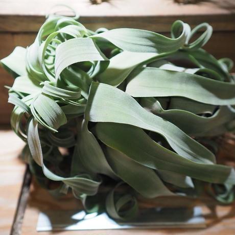 チランジア / ストレプトフィラ XXL (T.streptophylla)  ★タイ農場 *A01/Feb20