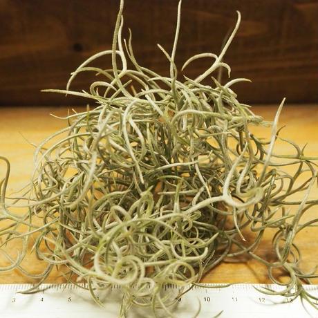 チランジア / ウスネオイデス カーリー (T.usneoides) *A02/Se01