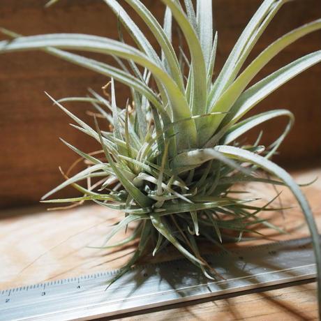 チランジア / ウトリクラータ プリングレイ M (T. utriculata ssp. pringlei) *A01/Apr15