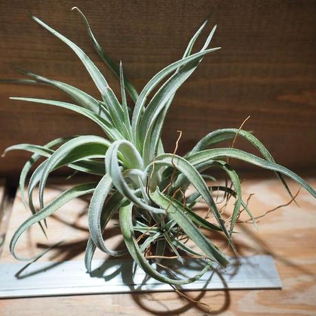 チランジア / チアペンシス × ベルティナ (T.chiapensis × T.velutina) *A01/Oct13