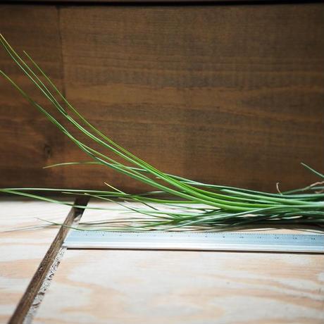 チランジア / ディスティカ グリーン (T.disticha 'Green') *A01/Jan27