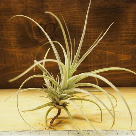チランジア / ストラミネア ブッシュ (T.straminea 'Bush') *A02/J28