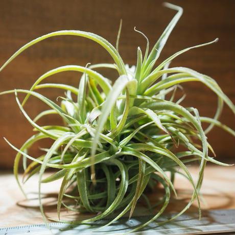 チランジア / カクティコラ × プルプレア CL (T.cacticola × T.purpurea) *A01/Mar20