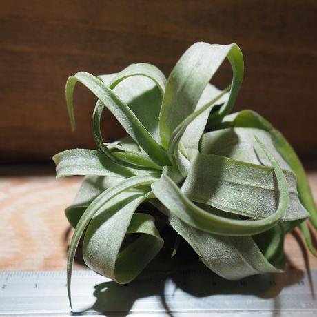 チランジア / ストレプトフィラ L (T.streptophylla) *A01/Nov29-01