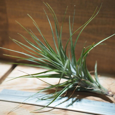 チランジア / テヌイフォリア アメシスト L (T.tenuifolia var. amethyst) *A01/Feb20