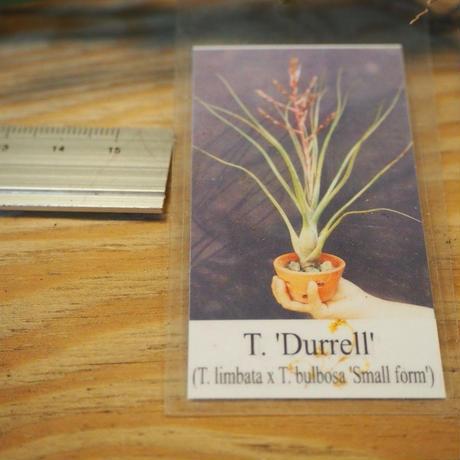 チランジア / デュレル (T.'Durrell') *A01/Dec17