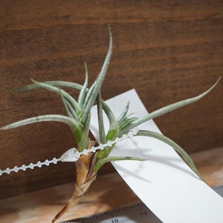 チランジア / アンディコラ (T.andicola) *A01/Jul25