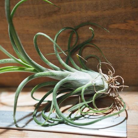 チランジア / カプトメドーサ パープル M (T.caput-medusae 'Purple') *A01/Jan10