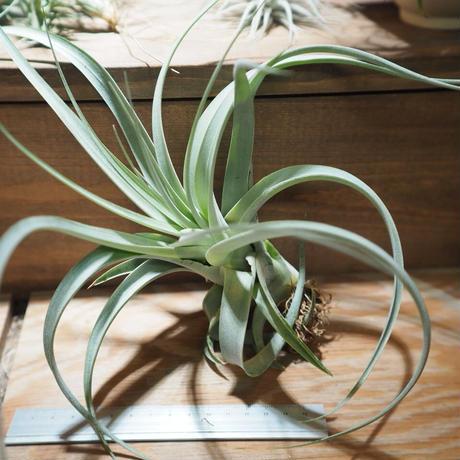 チランジア / キセログラフィカ × カピタータ (T.xerographica × T.capitata) *A01/Apr18