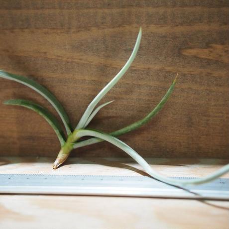 チランジア / カリギノーサ (T.caliginosa) *A01/Apr15