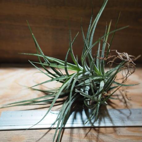 チランジア / イオナンタ × シーディアナ (T.ionantha × T.schiedeana) *A01/Nov22