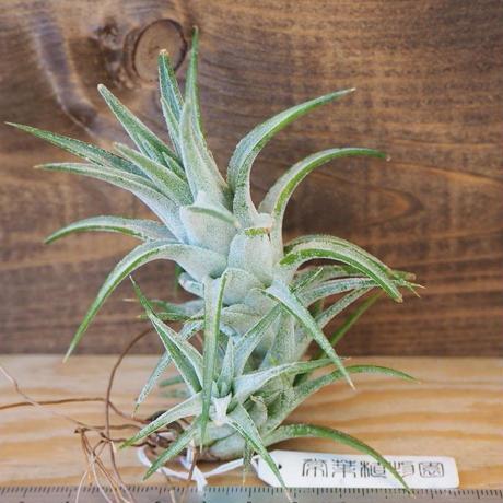 チランジア / イオナンタ ヴァンハイニンギー L (T.ionantha var. vanhyningii) *B02/Au12