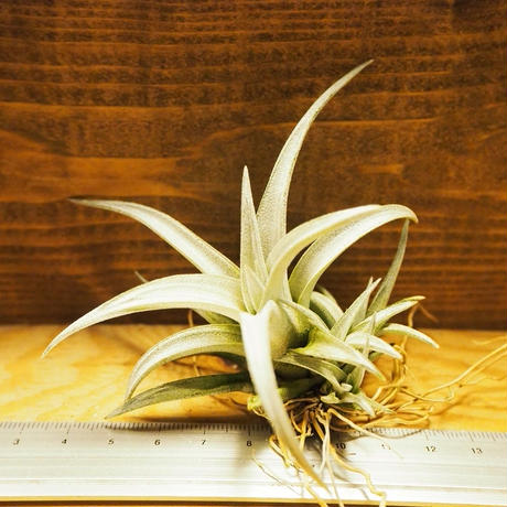 チランジア / シャツリー Sサイズ (T.schatzlii) *A02/Ju30