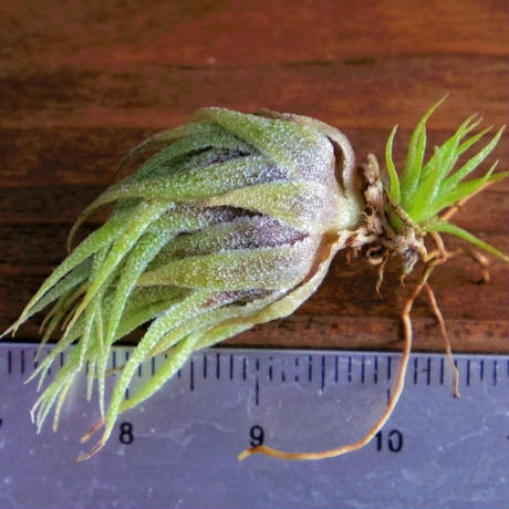 チランジア / スプレンゲリアナ (T.sprengeliana)