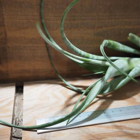 チランジア / フレキシオーサ ツイステッド (T.flexuosa twisted) *A01/May12