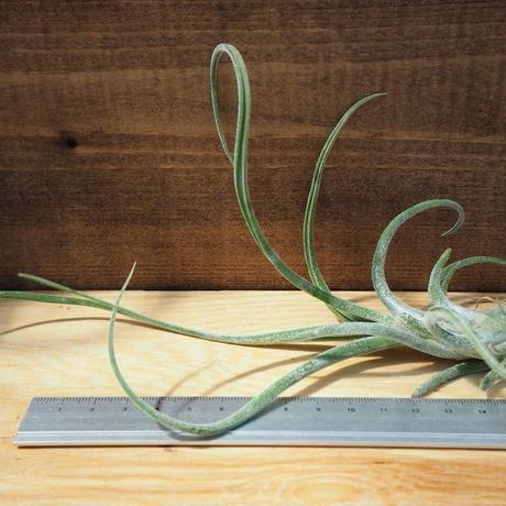 チランジア / カプトメドーサ パープル M (T.caput-medusae 'Purple') *A02/J21