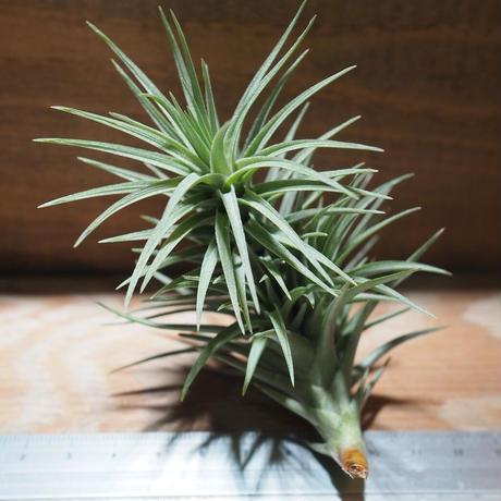 チランジア / アラウジェイ グリーンスター (T.araujei 'Green Star') *A01/Nov29