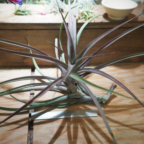 チランジア / ノバキー XL (T.novakii) *A01/May17