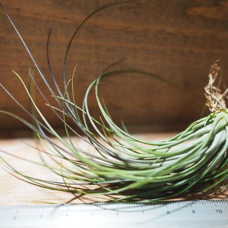 チランジア / グロボーサ (T.globosa) *A01/Mar20