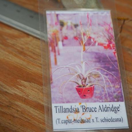 チランジア / ブルースオルドリッジ (T.'Bruce Aldrige') *A02/Se22-01・秋祭