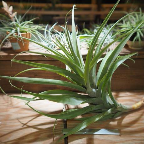 チランジア / ラティフォリア アナコンダ XXL (T.latifolia 'Anaconda') *A01/Feb27