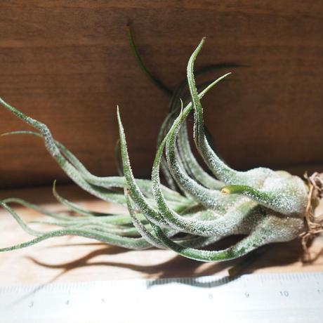 チランジア / プルイノーサ (T.pruinosa) *A01/Feb23