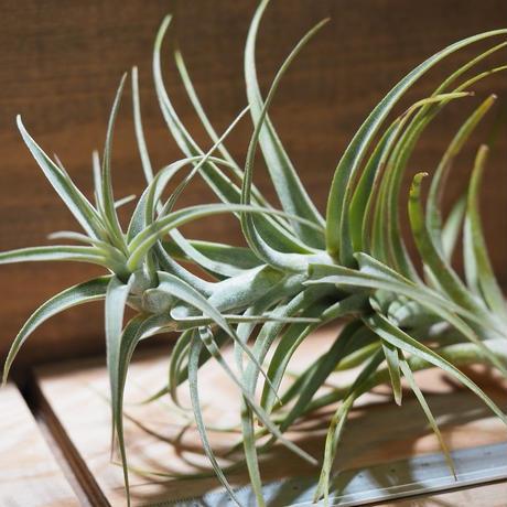 チランジア / ラティフォリア トールスター (T.latifolia 'Tallstar') *A01/Aug24