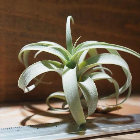 チランジア / ロゼオスカパ カーリー (T.roseoscapa 'Curly') *A01/Nov14