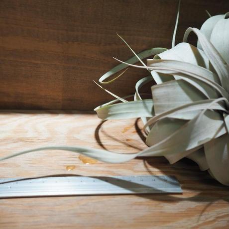 チランジア / キセログラフィカ ロングリーフ M 紅葉株 (T.xerographica) *A01/Feb22-01