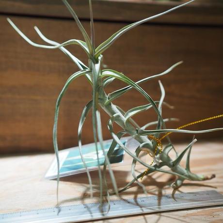 チランジア / メレリアナ (T.mereliana) *A01/Dec13