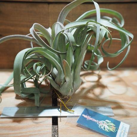 チランジア / カピタータ オレンジ × ストレプトフィラ (T.capitata 'Orange' × T.streptophylla) *A01/Oct02