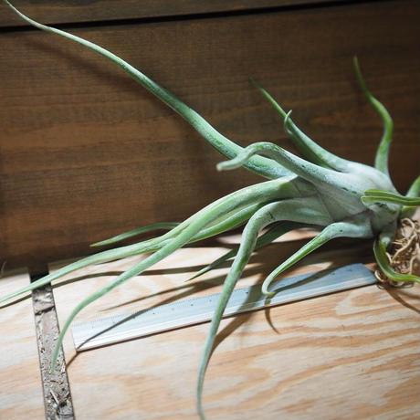 チランジア / カプトメドーサ パープル XL (T.caput-medusae 'Purple') *A01/Apr04