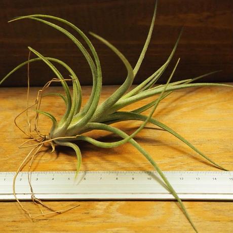 チランジア / イオナンタ × パウシフォリア (T.ionantha × T.paucifolia) *A02/Se21