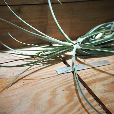 チランジア / デュラティ × ストリクタ (T.duratii × T.stricta) *A01/Apr17
