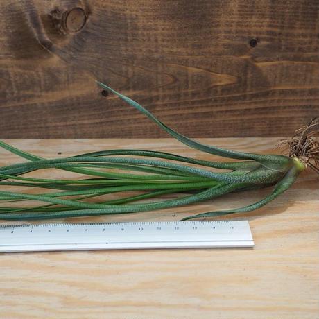 チランジア / ブッツィー ジャイアント Hyb (T.butzii Giant Hybrid) *A02/Au31