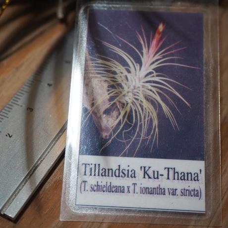 チランジア / クータナ (T.'Ku-Thana') *A01/Jun18