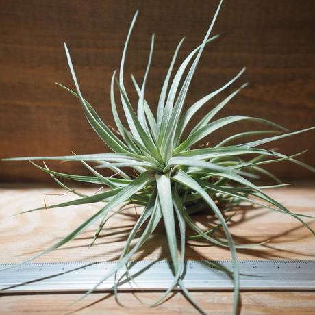 チランジア / アエラントス パープルジャイアント (T.aeranthos 'Purple Giant') *A01/Jun05
